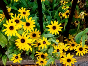 Black-eyed Susans look forward to fall